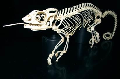 squelette caméléon