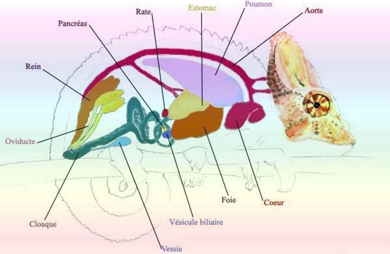 organes internes caméléon