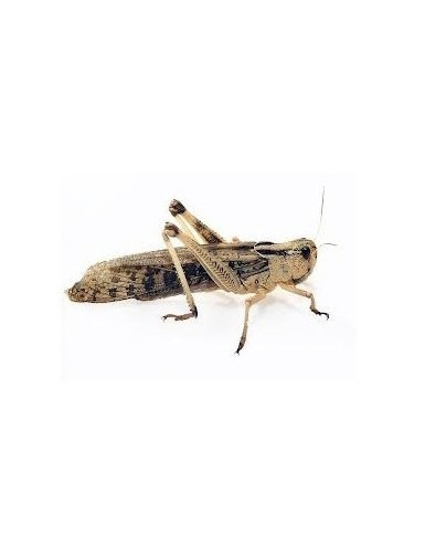 Sauterelle Locusta migratoria BOITE