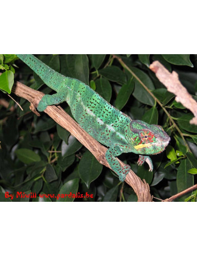Furcifer Pardalis Nosy Be