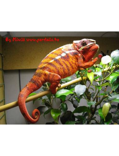 Furcifer Pardalis Sambava