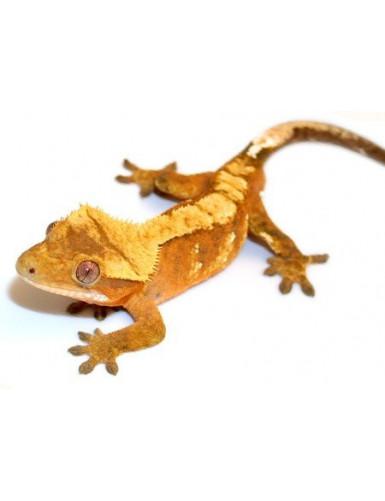 Rhacodactylus ciliatus...
