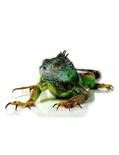 Iguana iguane vert