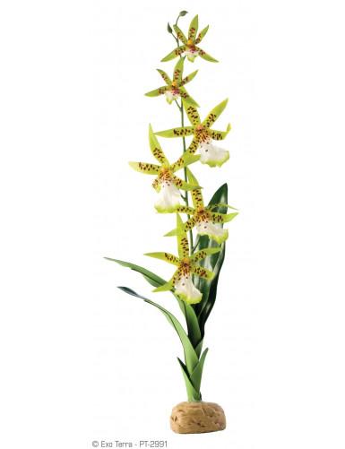 Orchidee Arachnis flos-aeris Exo Terra