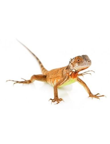 Iguana iguane rouge
