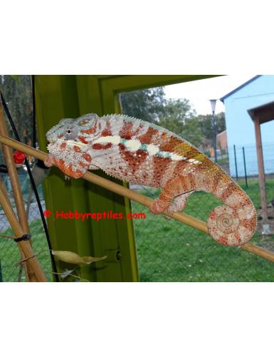 Furcifer Pardalis Masoala / Cap Est