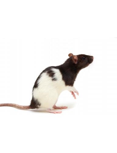 Rat (250 - 350gr)