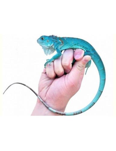 Iguana iguane bleu