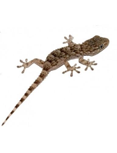 Gekko gecko Tokay