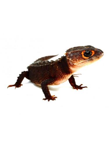 Tribolonotus gracilis