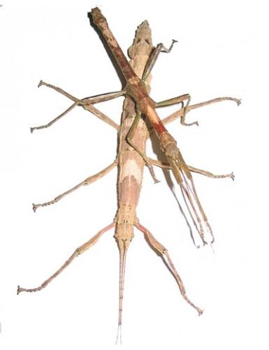 Heterometrus cyaneus