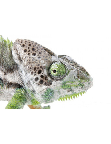 Furcifer verrucosus