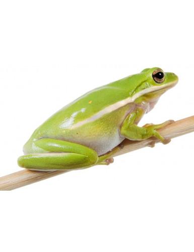 Hyla versicolor