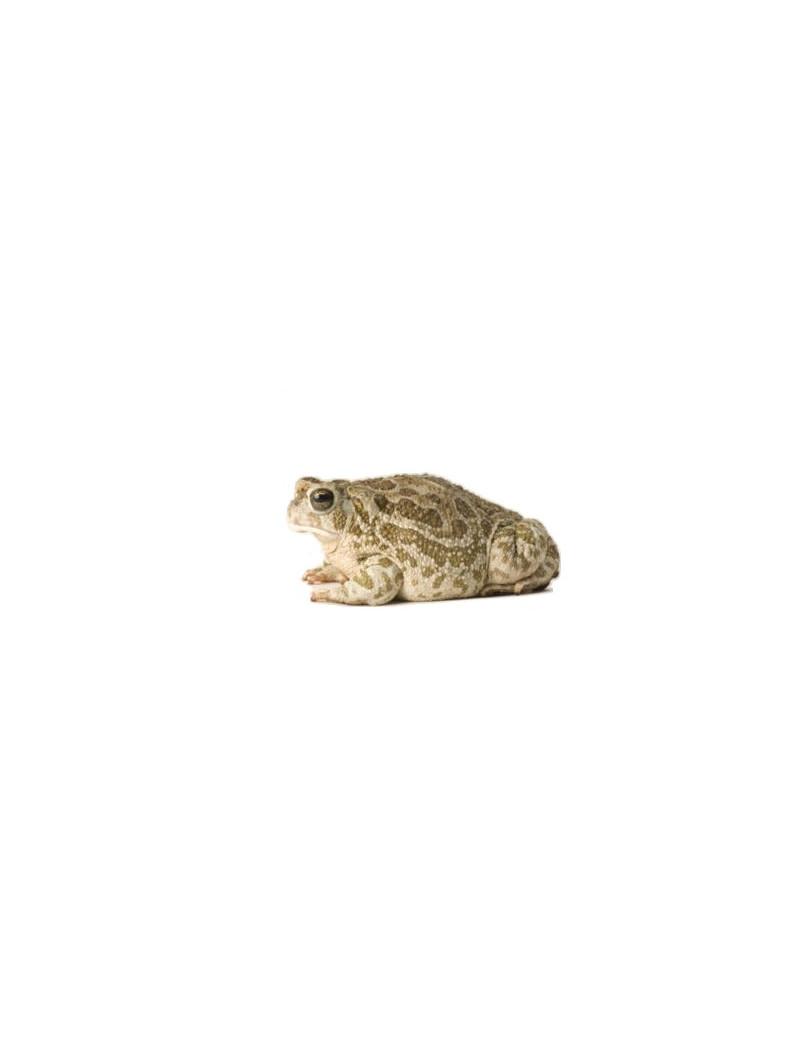 Bufo cognatus