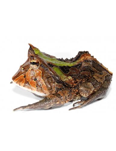 Ceratophrys cornuta