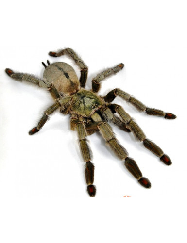 Psalmopoeus cambridgei