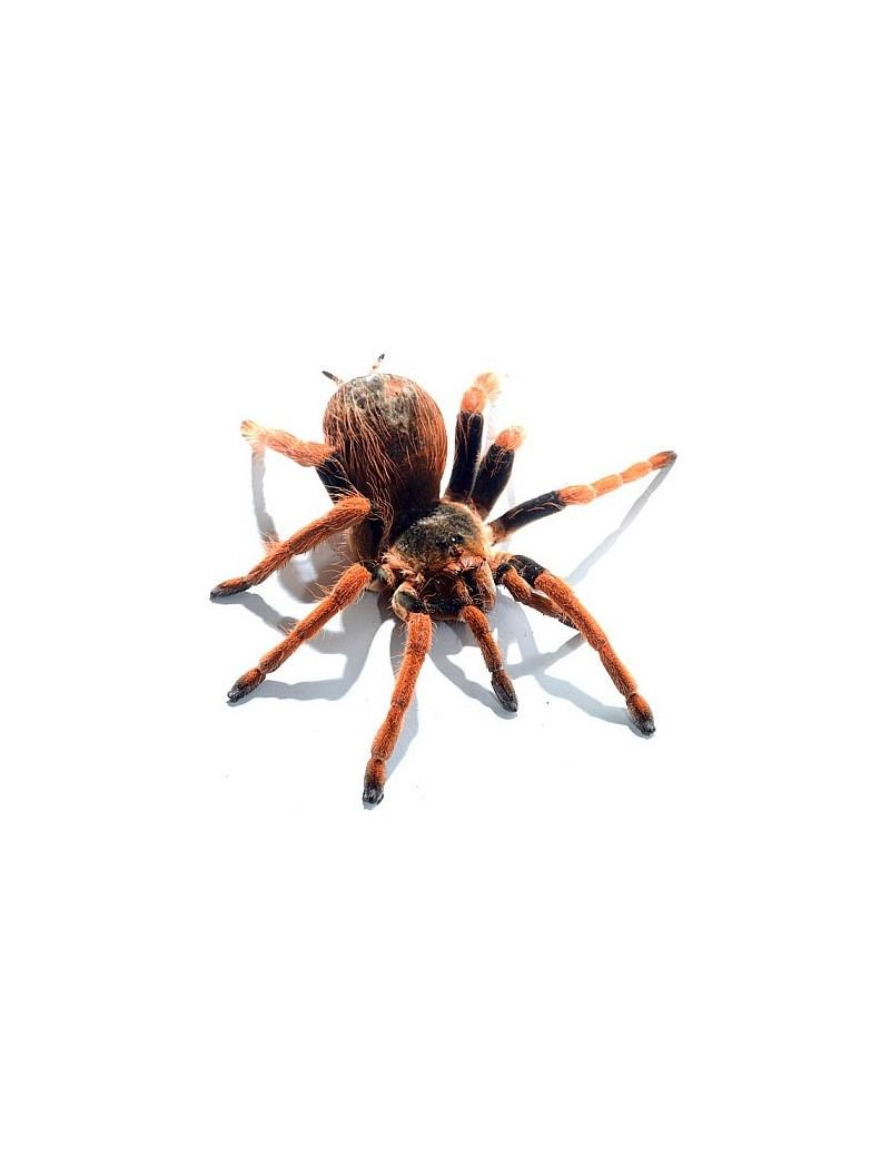 Megaphobema robusta