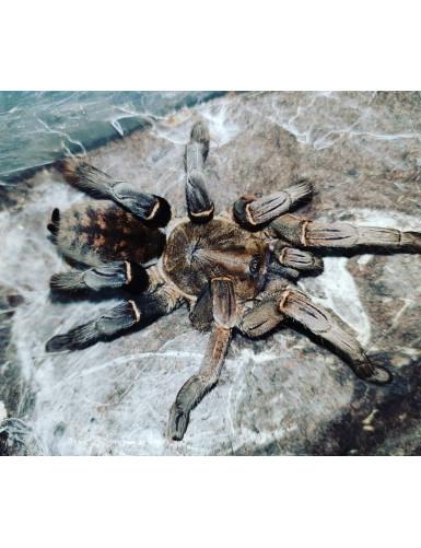 Lasiodora parahybana