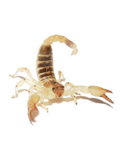 Scorpio maurus