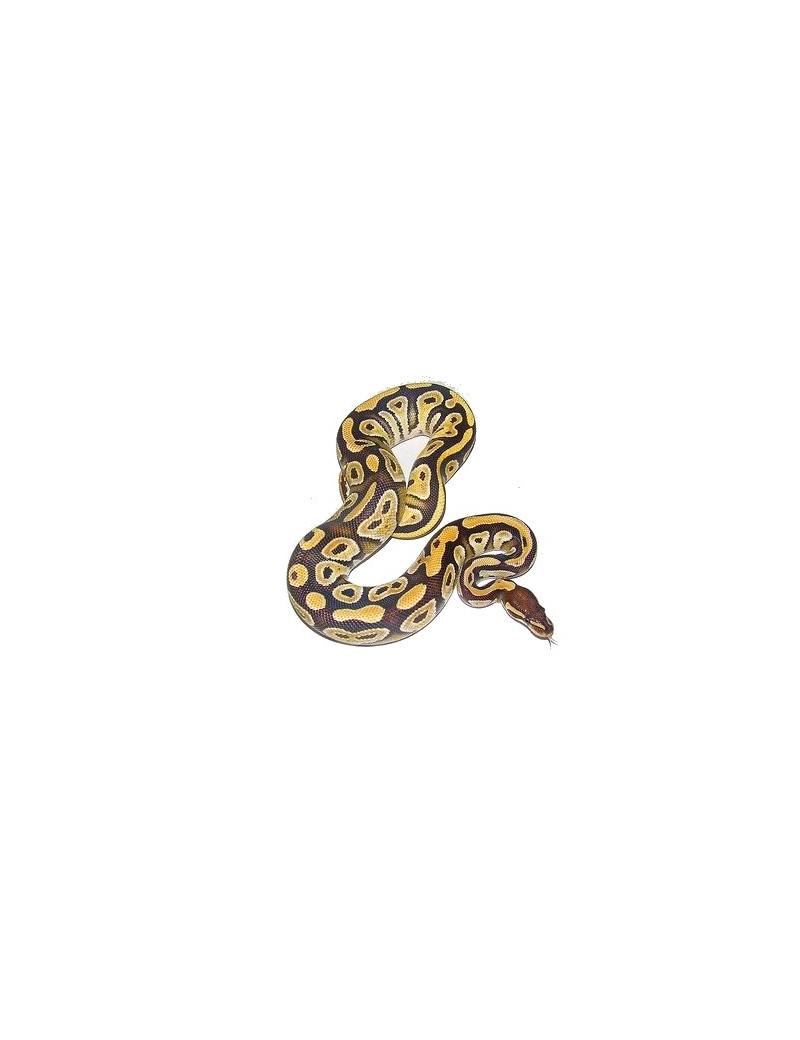 Python molurus