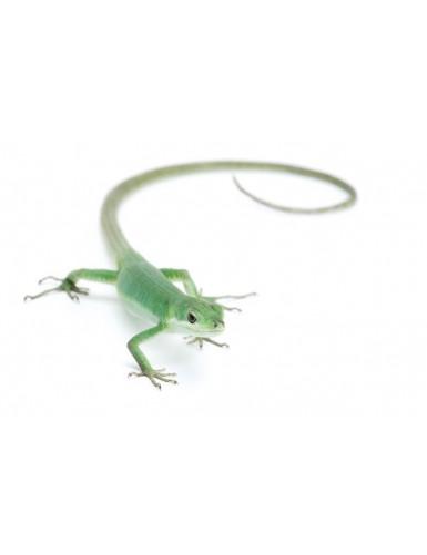 copy of Gekko gecko Tokay