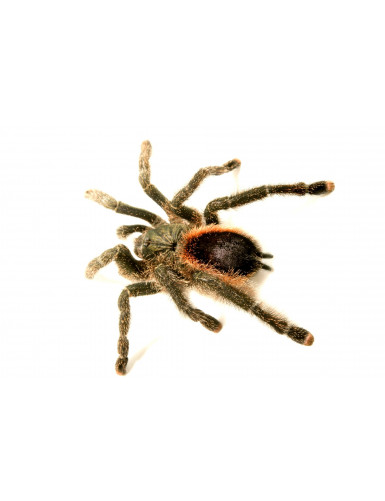 copy of Avicularia avicularia