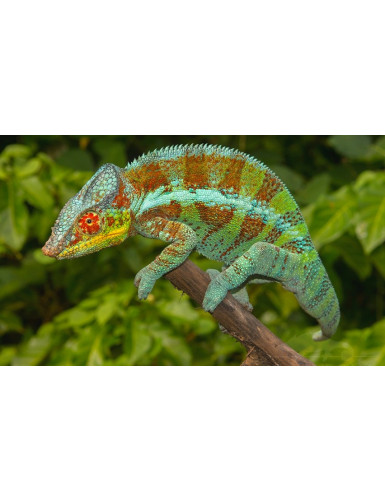 Furcifer Pardalis Djangoa