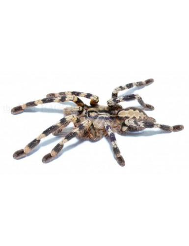 copy of Poecilotheria formosa
