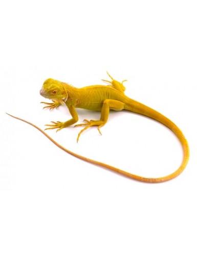 copy of Iguana iguane bleu