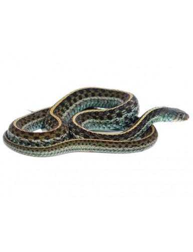 Thamnophis sirtalis s. Florida Blue