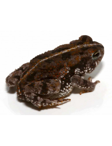 copy of Bufo marinus