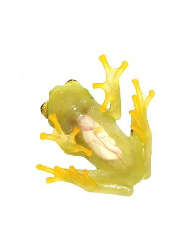 Hyalinobatrachium fleischmanni