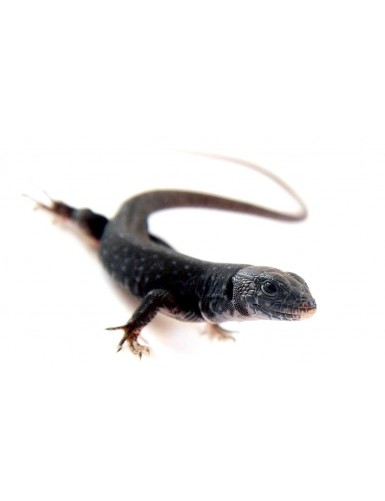 copy of Gekko gecko Tokay