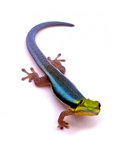 copy of Phelsuma...