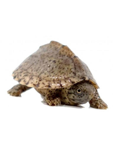 copy of Sternotherus odoratus