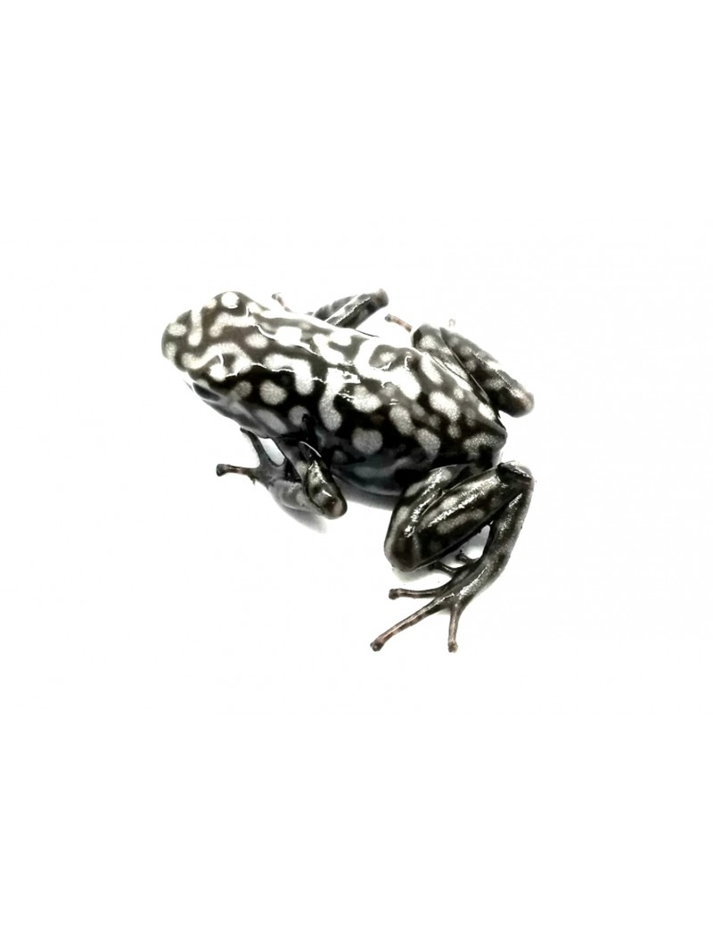 Dendrobates auratus Pena Blanca