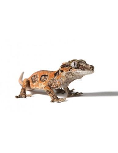 copy of Rhacodactylus...