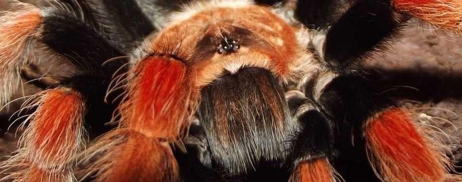 Brachypelma boehmei Mygale pattes feu mexicaine rouillees