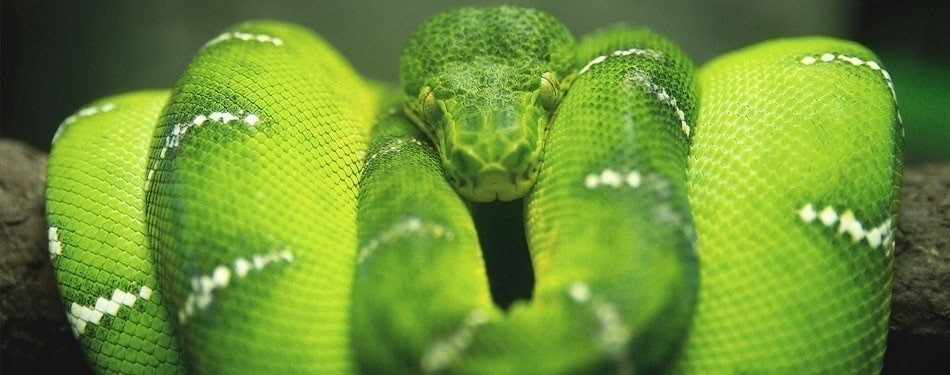 Morelia viridis python vert arboricole