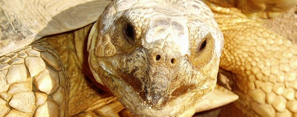 Centrochelys sulcata Tortue sillonnee eperons