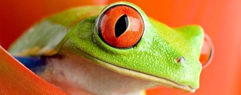 Agalychnis callidryas Grenouille yeux rouges Phyllomeduse